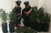 Serra di Marijuana in casa, Carabinieri arrestano un 38enne