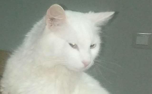 Smarrito gatto nei pressi della scuola Traina