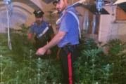 Sorpresi in casa con 145 piantine di Marijuana, tre arresti