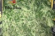 Mega piantagione di Maijuana a Misilmeri, due arresti